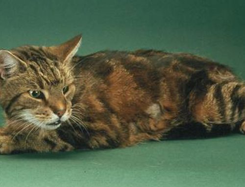 Does your cat have Hyperthyroidism?